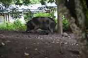 Pig, Atuona, Hiva Oa, Marquesa Islands, French Polynesia<br />