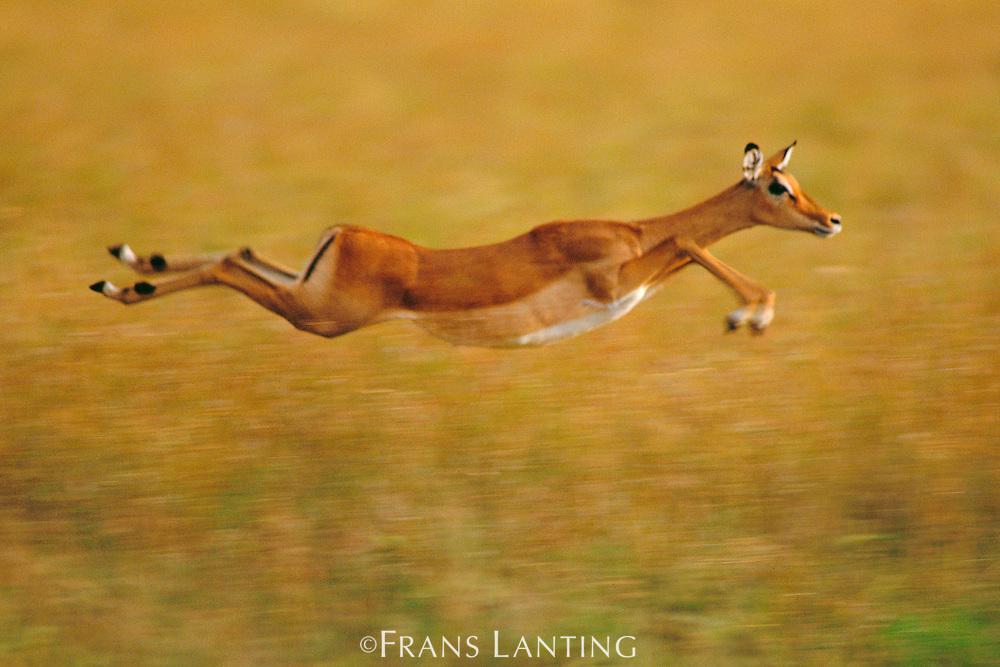 Impala leaping, Aepyceros melampus, Masai Mara Reserve, Kenya