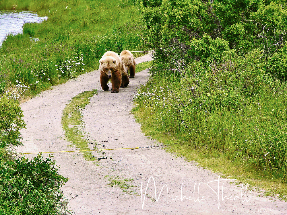 The bears own the paths and trails at Katmai