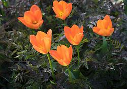Tulipa 'Orange Emperor' AGM growing through Anthriscus sylvestris 'Ravenswing' (black cow parsley)