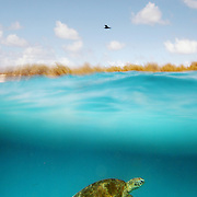 This split-level shot shows a Green Sea Turtle swimming in the ocean directly below a Black Noddy Tern in the Great Barrier Reef National Park, Australia.