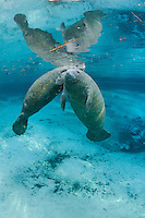 Florida manatee, Trichechus manatus latirostris, a subspecies of the West Indian manatee, endangered. Two male manatee calves take a break from intimate play for one to catch a breath at the surface. One of a series of calf intimate play or cavorting play behaviors. Vertical orientation, blue water with rainbow sun rays and reflections. Three Sisters Springs, Crystal River National Wildlife Refuge, Kings Bay, Crystal River, Citrus County, Florida USA.