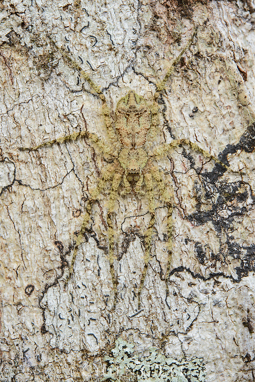 Superbly camouflaged, this lichen huntsman spider (Pandercetes sp.) lies in wait for prey on the trunk of a tree in the Arfak Mountains of New Guinea. West Papua, Indonesia.