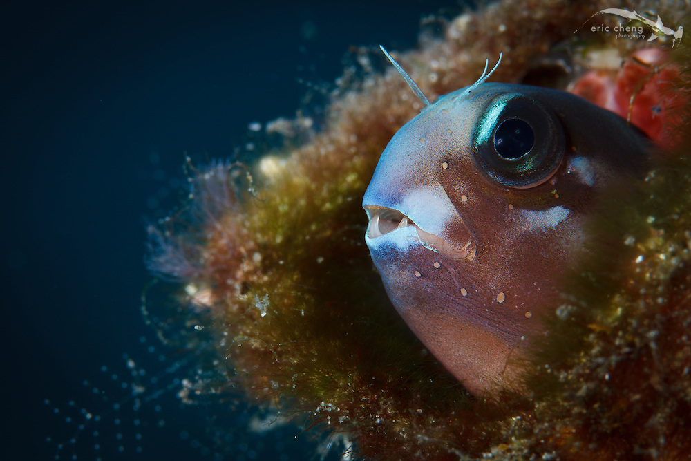 A small blenny has formidable teeth when viewed up close. Pulau Raja, Flasher Reef.