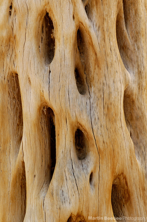 Skeleton of saguaro cactus (Carnegiea gigantea), Saguaro National Park, Tucson, Arizona