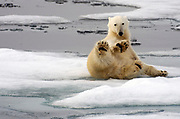Polar bear (Ursus maritimus) in the pack ice of 81,5 degrees north off Spitsbergen, Svalbard in July 2012.