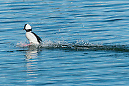 A male bufflehead plows through water as it lands on Round Cove in Harwich.