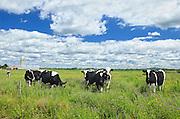 Dairy cows <br /> Notre Dame de Stanbridge<br /> Quebec<br /> Canada