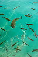 Fish swimming in the clear turquoise water of Plitvice Lakes, Croatia.