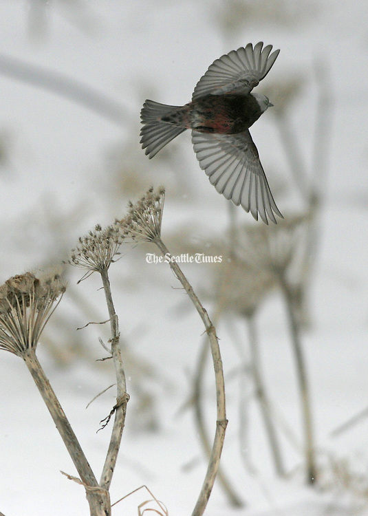 On a windy and very cold spring morning, a Grey Crowned Rosy-Finch takes flight. This species lives on St. Paul Island year around. (Steve Ringman / The Seattle Times)