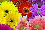 Gerber Daisies, Mixed, Colorful, Daisy,  Display, Daisy, Americana Brand; Calif. California CA; Glendale; shopping