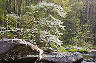 66745-04009 Dogwood trees in spring along Middle Prong Little River, Tremont area, Great Smoky Mountains National Park,TN