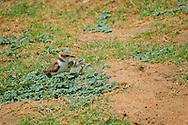 Alberto Carrera, Kentish Plover with Plover Chicks, Charadrius alexandrinus, Kaudulla National Park, Sri Lanka, Asia