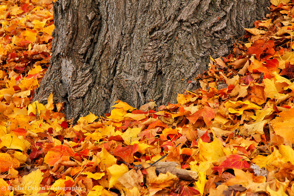 &quot;Measure of Time&quot;<br /> <br /> Feel the wonder of time in this beautifully textured old Maple tree trunk surrounded by vibrant yellow, orange, gold, and red leaves!<br />   Ahh, the beauty of time, and age!!<br /> <br /> <br /> Fall Foliage by Rachel Cohen