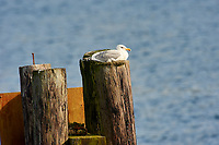 Glaucous-winged Gull (Larus glaucescens), adult winter plumage, Pages Marina, Gabriola Island, British Columbia, Canada