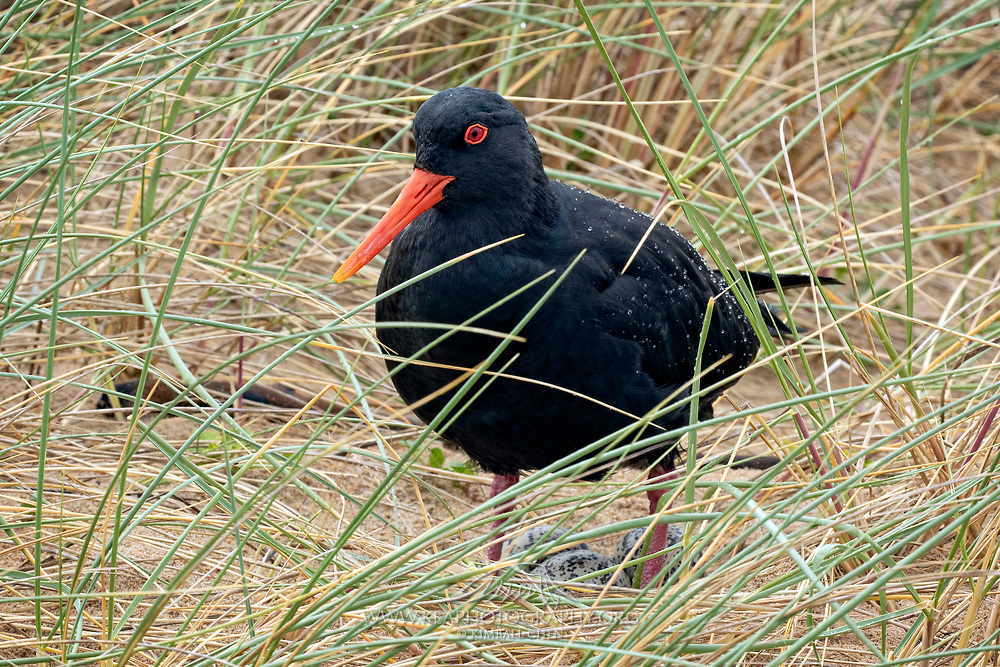 A variable oystercatcher guards its eggs nestled in the coastal grass.  South Island, New Zealand