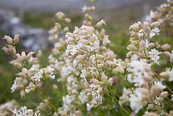 Bladder Campion growing by a roadside in the Burren. Silene vulgaris