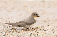 Rock Martin collecting nesting material, De Hoop Nature Reserve, Overberg, Western Cape, South Africa,