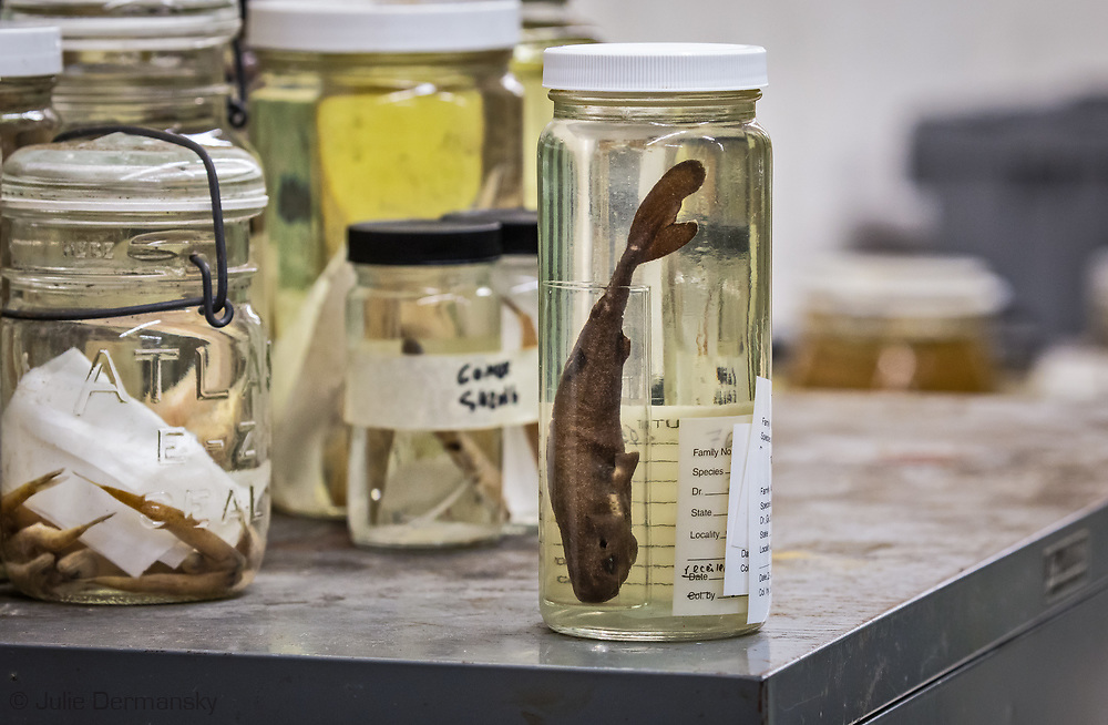 A pocket-sized pocket shark that is 5.5-inch long  found in the Gulf of Mexico has turned out to be a new species.  A scientist with The National Oceanic Atmospheric Administration National Marine Fisheries Service Southeast Fisheries Science Center founds the specimen while collecting sealife during a 2010 survey to find out what Gulf of Mexico sperm whales eat by trawling in an area and at a depth where tagged whales had been feeding. The  specimen is now part of Tunlane Univeristy's Natural History collection.