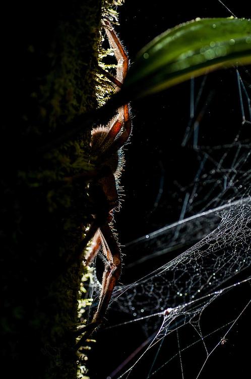 Brazilian wandering spider (Phoneutria sp.). Potaro Plateau, Guyana.
