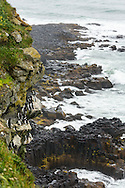 Thick-billed Murres perched on cliff overlooking Bering Sea on coast of St. Paul Island in Southwest Alaska. Summer. Afternoon.