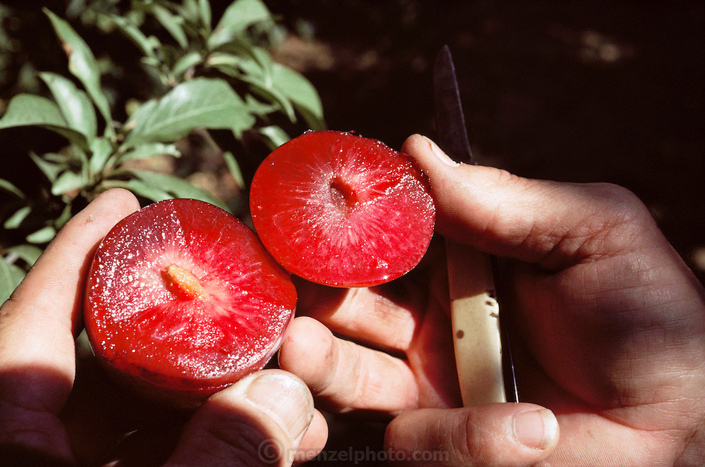 "Floyd Zaiger cuts open a ""Pluot"", a cross between a plum and an apricot, in his orchard. Floyd Zaiger (Born 1926) is a biologist who is most noted for his work in fruit genetics. Zaiger Genetics, located in Modesto, California, USA, was founded in 1958. Zaiger has spent his life in pursuit of the perfect fruit, developing both cultivars of existing species and new hybrids such as the pluot and the aprium. Pluot fruit (plum & apricot) - MODEL RELEASED. 1988."