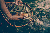 Man fly fishing for trout on the Jackson River in the Blue Ridge Mountains of Virginia.