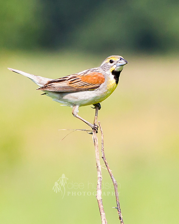 A male Dickcissel patrols his territory. This grassland bird will actively defend good nesting and feeding sites from other males. <br />