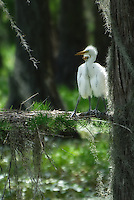 A pair of baby Great Egrets standing on a branch with their nest deep in a Florida swamp.
