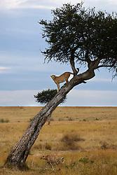 A male cheetah (Acinonyx jubatus) uncharacteristically climbs a tree to scout for prey, Masai Mara, Kenya