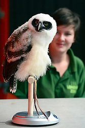 © Licensed to London News Pictures. 22/08/2012.  London, UK. Elton the Spectacled Owl, who is 9 weeks old, sits on specially prepared scales. He weighed 634 grammes. ZSL London Zoo conducts its annual weigh-in. Each of the 16,000 animals are measured and weighed. The information recorded is sent to zoos around the world. Photo credit : Stephen Simpson/LNP