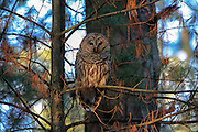 Barred owl perched in habitat at sunset.