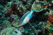 Princess Parrotfish (Scarus taeniopterus)<br /> BONAIRE, Netherlands Antilles, Caribbean<br /> HABITAT & DISTRIBUTION: Reefs<br /> Florida, Bahamas, Caribbean & Bermuda