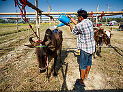 17 FEBRUARY 2018 - BAN LOT, PHETCHABURI, THAILAND: A man finishes a Thai whiskey in a paddock with his racing oxen in Ban Lat, a community about three hours south of Bangkok. The ox cart races are almost 100 years old, and date back to the reign of King Rama V. The races are run on a 100 meter long straightaway course.   PHOTO BY JACK KURTZ