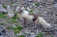 Arctic fox at a Kittiwake colony at Diskobukta on Edgeøya in Svalbard archipeligo, Norway
