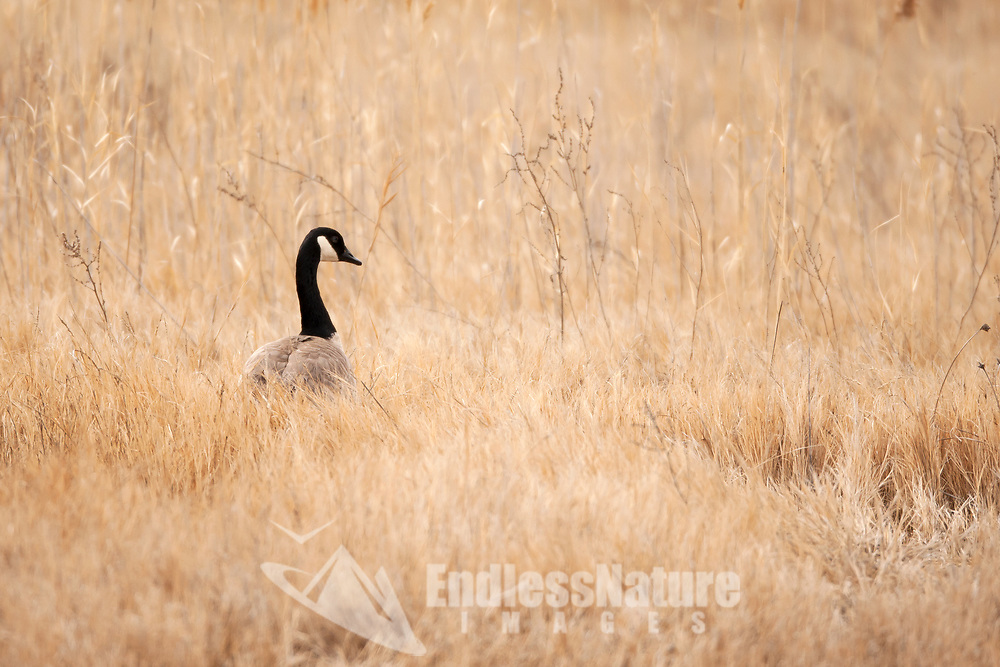 Midway through March has the Canadian Geese paired up and ready to start nesting.