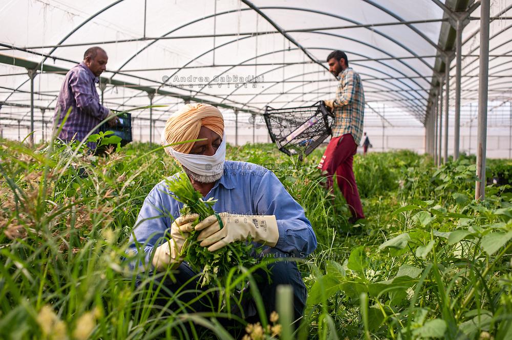 Nettuno, 21/05/2020: Braccianti Sikh in un'azienda agricola dell'Agro Pontino.<br /> © Andrea Sabbadini