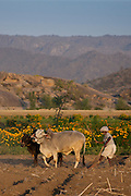 Farmer using pair of oxen to plough field for lentil crop in fields by Aravalli mountain range at Nimaj, Rajasthan, Northern India