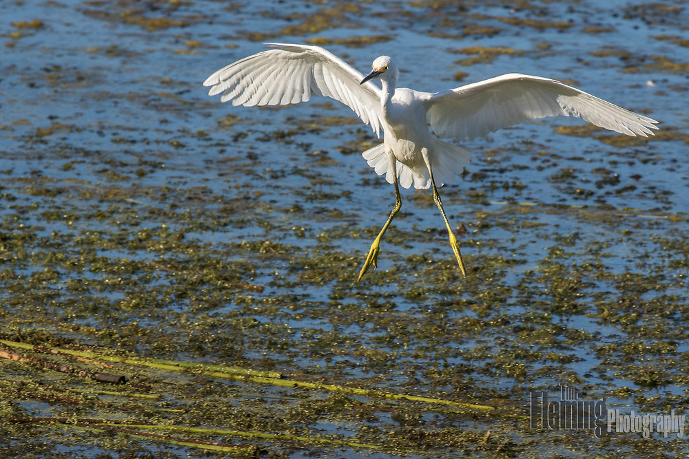 Snowy egret landing in the Ellis Creek Water Recycling Facility, Petaluma, California