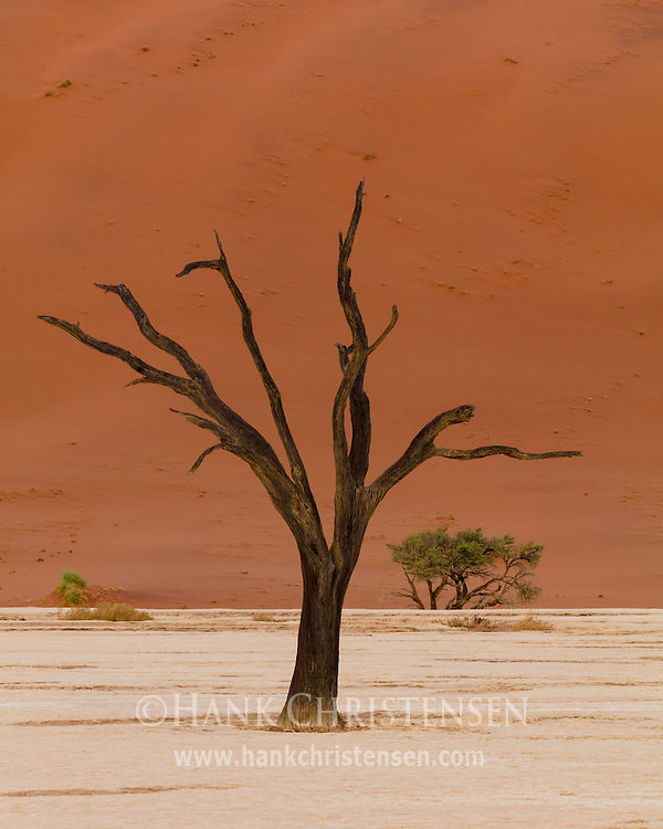 The clay pan of Deadvlei contains numerous camel thorn trees that have been dead for at least 600 years.  At that time a drought dried up the Tsauchab river, 1000 foot dunes encroached on the dried up marsh, and the river was blocked.  The wood of the dead trees does not decompose because the area is so dry.