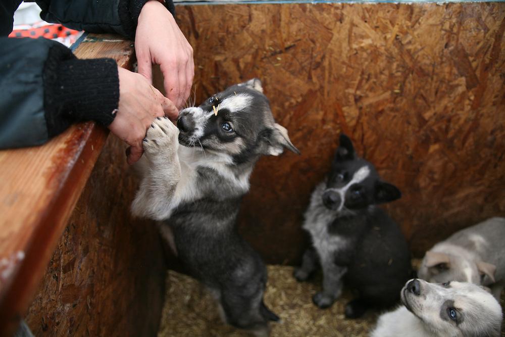 KOTZEBUE - OCTOBER 28 2009. John and Iva Baker dog kennel in Kotzebue, Alaska.