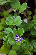 Pohinahina, Vitex rotundifolia,  Maui Nui Botanical Gardens, Kahului, Maui, Hawaii