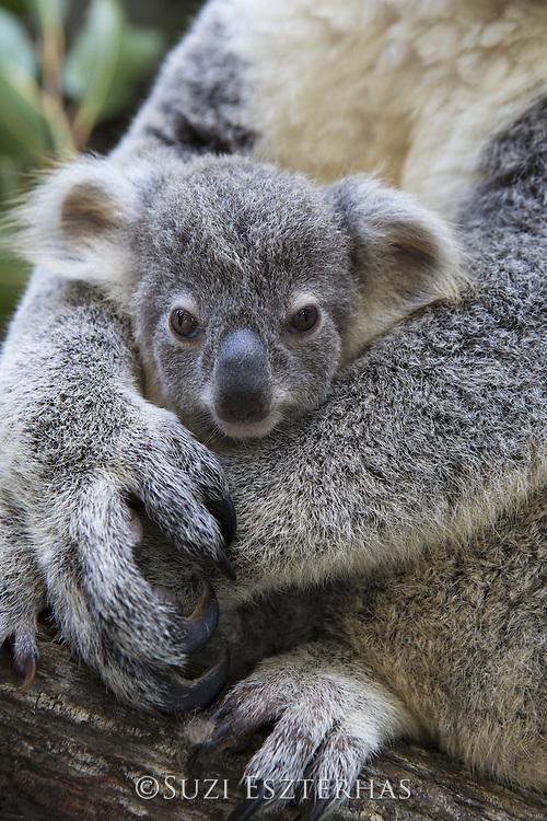Koala<br /> Phascolarctos cinereus<br /> Eight-month-old joey<br /> Queensland, Australia<br /> *Captive