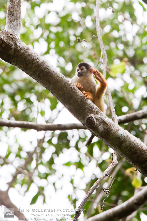 Black-crowned Central American Squirrel Monkey (Saimiri oerstedii oerstedii) scratches his ear with his leg while resting on a tree branch in the rainforest of Corcovado National Park, Costa Rica