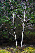 Silver Birches, Grampian Mountains, Aberdeenshire, UK