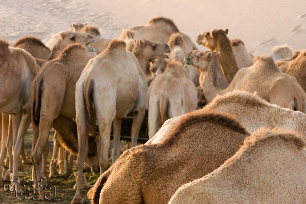 UAE Dubai camels feeding at a farm in the desert outside of Dubai