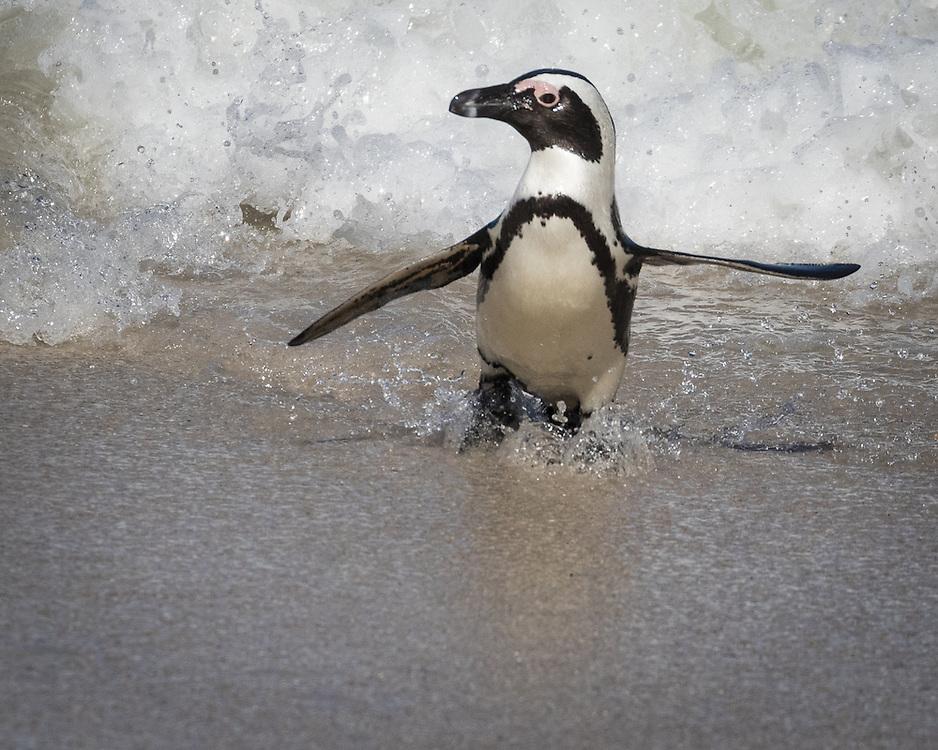 Pygoscelis antarcticus, Boulders Beach, South Africa, aka Jackass Penguin