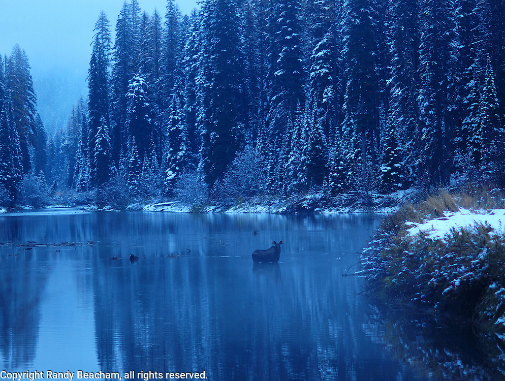 A young bull moose in the Yaak River at dusk after a fall snowstorm. Yaak Valley, Montana