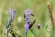 Tufted Vetch (Vicia cracca) flowers being visited by two Bumblebees at Campbell Valley Regional Park in Langley, British Columbia, Canada.