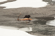 Black wolf eating bull elk in the Lamar Valley of Yellowstone National Park